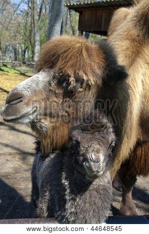 Camel calf and mother