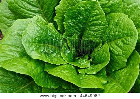 Green Leafy Head Of Romaine Lettuce In A Garden