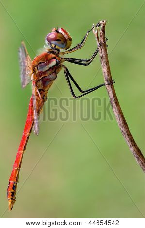 Sympetrum Fonscolombii On