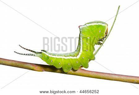 Caterpillar (witte hermelijnvlinder)
