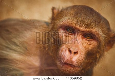 A close-up portrait of a monkey(rhesus macaque)