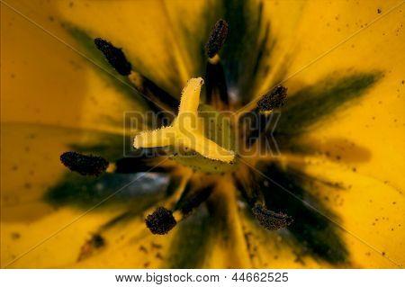 Close Up Papaveracee Papaver Rhoeas