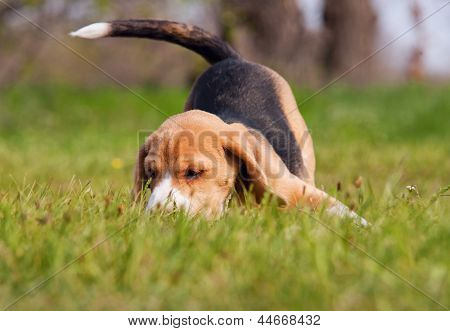 Playful Beagle Puppy In Grass