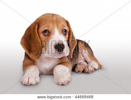 Cute Beagle Puppy Portrait