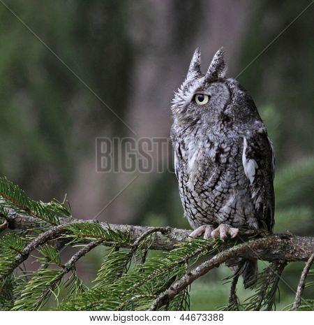 Sitting Eastern Screech Owl