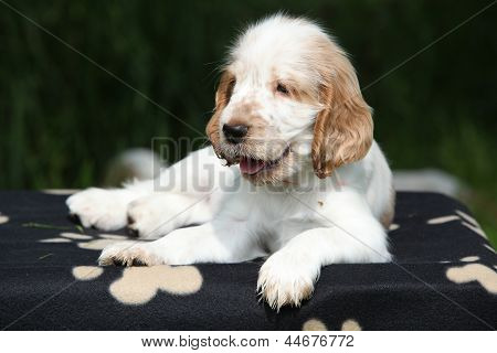 Gorgeous English Cocker Spaniel Puppy Lying