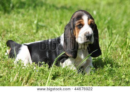 Gorgeous Puppy Of Basset Hound In The Grass