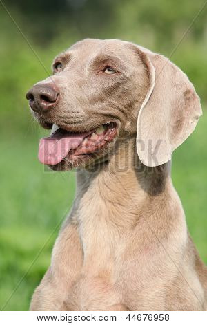 Portrait Of Weimaraner Vorsterhund Bitch
