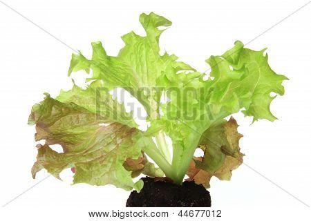 Salad Seedling