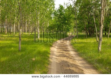 Dirt road leading into a fresh green forest