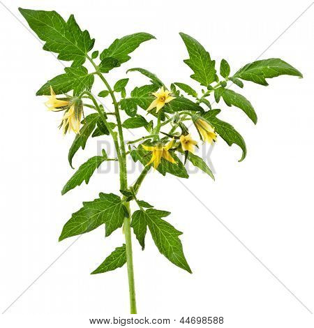 twig of tomato plant with flowers isolated on white background