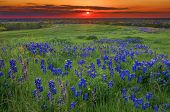 stock photo of texas  - Texas pasture filled with bluebonnets at sunset - JPG