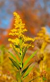 picture of goldenrod  - A stalk of goldenrod blooming in an autumn field - JPG