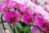 Bright And Purple Butterfly Orchids