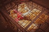 stock photo of roster  - Red rosters in a small rusty cage - JPG