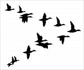 image of generous  - vector silhouettes of flying  flock of ducks - JPG