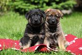 picture of shepherds  - Two german shepherd puppies sitting side by side on red blanket - JPG