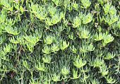 foto of sissy  - Mediterranian plants growing on a wall in Sissi - JPG