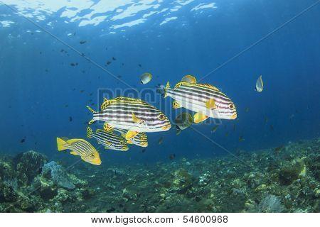School of Fish: Oriental Sweetlips on coral reef