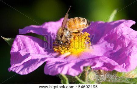 Honey Bee Nose Deep in Yellow Stamens