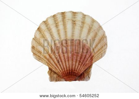 Sea Shell - Scallop Seashell Isolated On White Background