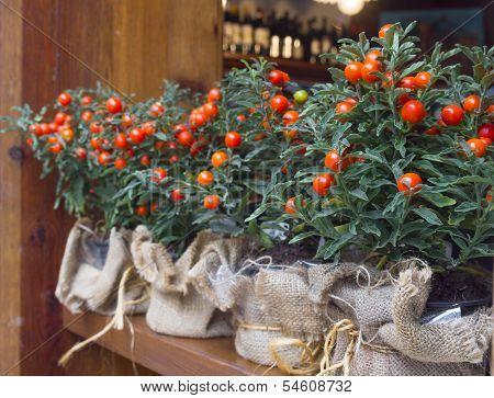 Decorative Pots With Ornamental Coral Nightshade (solanum Pseudocapsicum)