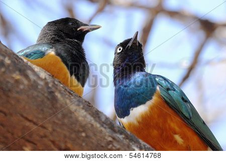 African Birds, Superb Starlings, On A Tree