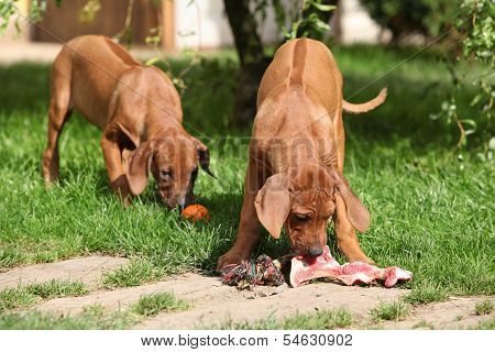 Puppies With Fresh Bone