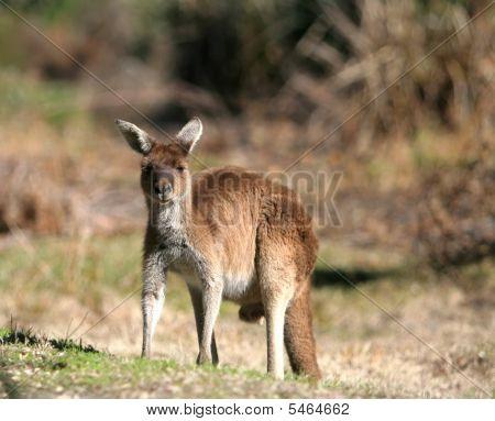 Looking  at  me kangaroo
