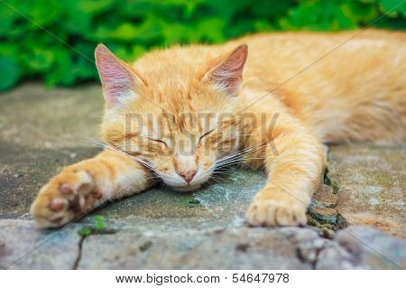 Young Red Kitten Sleeping