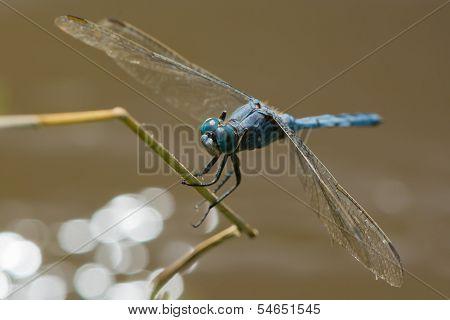 Strong Skimmer Dragonfly (orthetrum Brachiale)