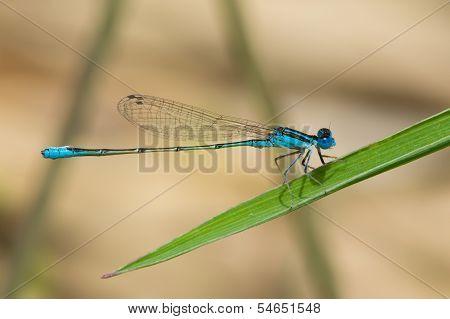 Tiny Swamp Bluet Damselfly (azuragrion Vansomereni)