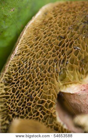 Sponge Like Mushroom Gills