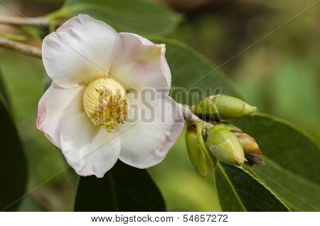 White And Pink Camelia Flower