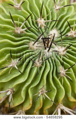 Thorny Cactus Head