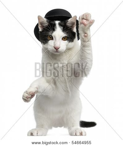 European Shorthair kitten wearing a top hat, on hind legs and pawing up, 4 months old, isolated on white