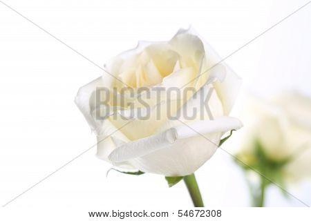 rosee wedding bouquet, background