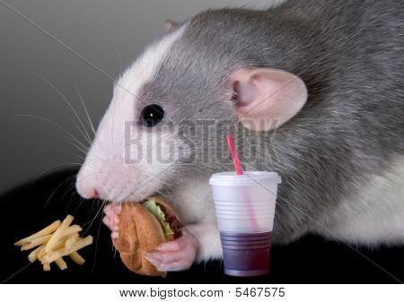 Rat Eating Fast Food