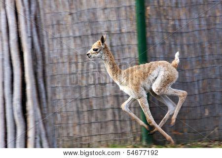 Running vicugna baby