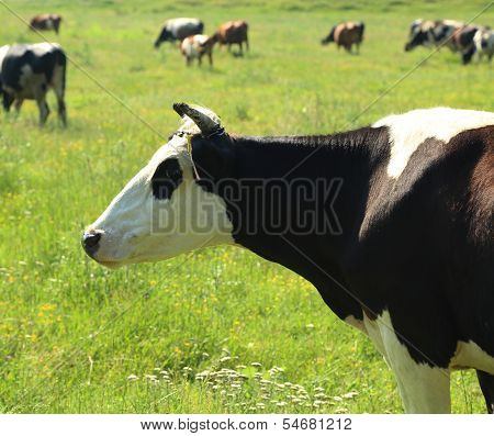 portrait of cow head over green pasture outdoors