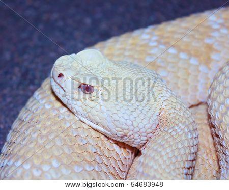 An Albino Western Diamondback Rattlesnake, Crotalus Atrox