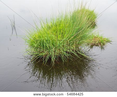 Clump Of Grass Reflected