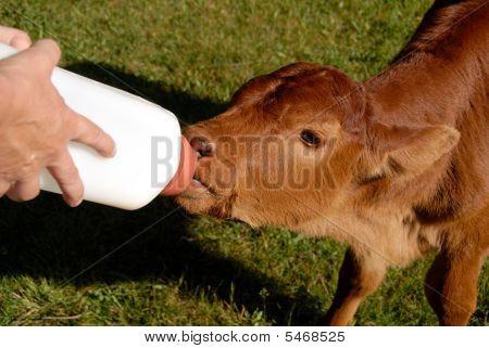 Orphan Bull Calf
