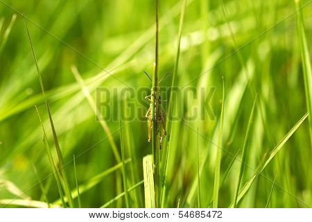 green grasshopper hiding behind a blade of grass