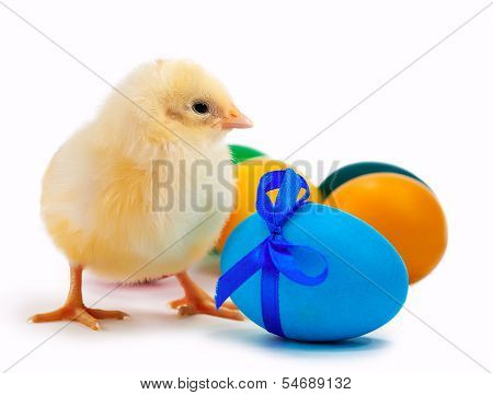 small yellow chick with easter eggs. isolated
