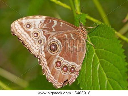 Brown Eye Butterfly