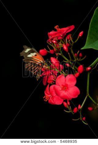 Dark Red Butterfly
