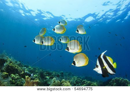 Tropical Fish on coral reef: School of Butterflyfish and Bannerfish