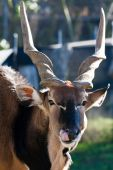 stock photo of eland  - Eland antelope picking nose with its tongue in the San Francisco Zoo - JPG