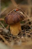 picture of bolete  - fresh bolete mushroom growing in the forest with ladybug - JPG